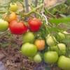 томат Валюта