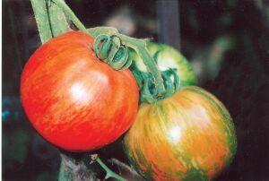 томаты с необычной окраской
