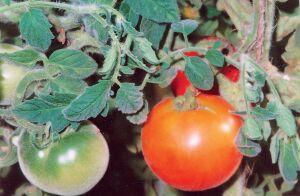 томаты бархатные