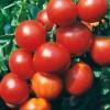 сорт томата Северное сияние