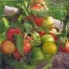 томат сорта Сибирский