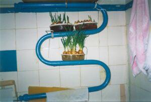 Выгонка зеленого лука в квартире