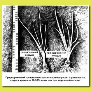 Рис.10. Влияние схемы посадки на рост и развитие растений при выращивании зеленого лука из севка