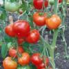 сорт томата Царскосельский ранний