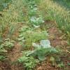 На грядках зреет урожай