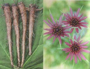 Овсяный корень (Tragopogon Porrifolium L.).