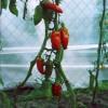 Американский длинный томат