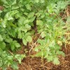 Ослабленное растение сильнее поражается вредителями