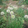 Почти все лето цветут, сменяя друг друга, луки батун, шнит, черемша, слизун, анзур.
