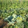 Чередование культур на огороде
