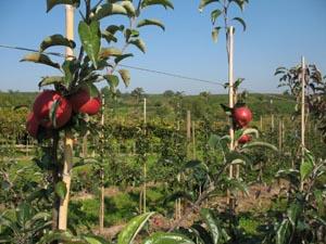 молодые яблони