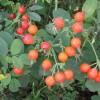 кустарник семейства Розовых (Rosaceae)