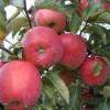 яблоки на ветке