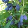 Род жимолость (Lonicera L.)