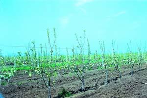 посадки карликовых яблонь
