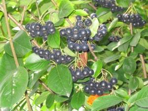 Арония (рябина) черноплодная