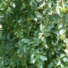 грушевый сад