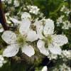 цветки ежевики