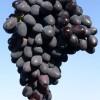 Виноград сорта Кодрянка