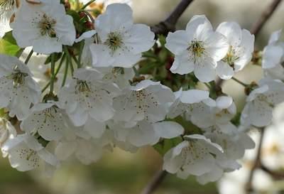 Вишневые цветы