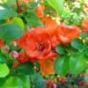 цветки японской айвы