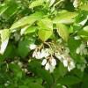 цветки американской высокорослой голубики
