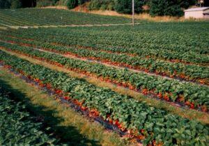 применение черной пленки на земляничных плантациях в Финляндии