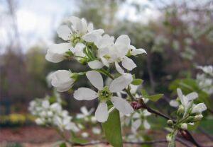 цветки мушмулы