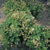 Земклуника сорта Пенелопа