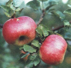 яблоки сорта Ауксис