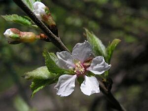 цветки вишни войлочной