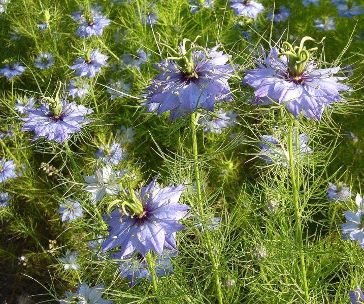 фото цветок нигелла