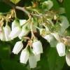 американская голубика цветки