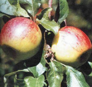 яблоки сорта Коричневое новое