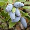 Жимолость съедобная (Lonicera edulis Turcz.ex Freyn)