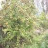 боярышник сибирский или кроваво-красный (Crataegus sanguinea Pall.).