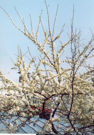 цветущая алыча