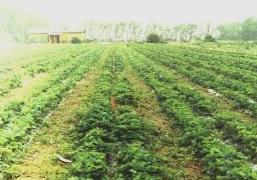 плантация земляники