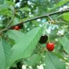 вишня – кавказская гостья