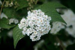 цветки шелковицы
