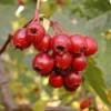 Плоды боярышника созревают в конце сентября