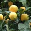 цитрусы, лимон