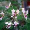 Пеларгония (Pelargonium), сорта и формы, выращивание в помещении и в открытом грунте, рецепт ароматического масла