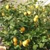 плодоносящий лимон