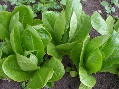 Выращивание салатов и их сорта 620