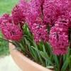 Гиацинт (Hyacinthus)