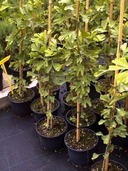 Выращивание гинкго билоба из семян 51