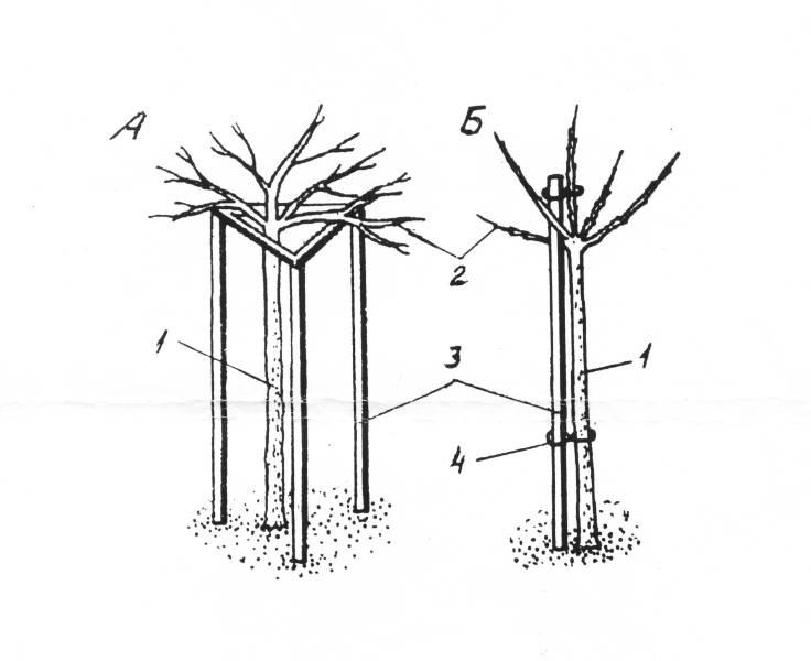 Штамбовых смородины (А) и крыжовника (Б) после реконструкции: 1 - ягодник; 2 - верхушечные побеги; 3 - деревянные опоры; 4 - узел закрепления ягодника на опоре.