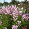 Обильно цвели многолетние цветы