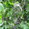ветви лещины